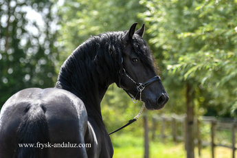 Gerke is sold to Jefta in Holland - Congratulations with this great moving stallion!!