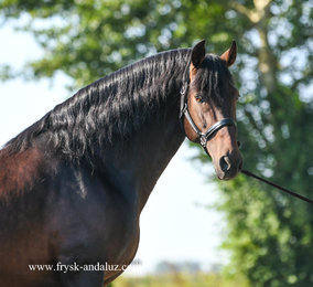 Bizarro - Misterioso XII x Barbo II - Gorgeous baroque PRE stallion - Well ridden and safe in traffic!!