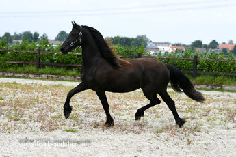 Jente is sold to Annette in Holland - Congratulations with this young mare with very long manes!!