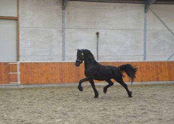 Tedman - Tsjalle 454 Sport x Andries 415 Sport - Future top sports horse!