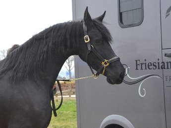 Leentje is sold to Mr. Melvin from the USA - Congratulations with your 2nd Maurus mare!