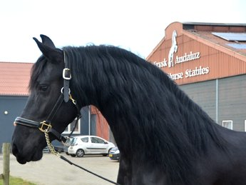 Sieta is sold to Irma in Holland - Congratulations with this super beautiful mare!