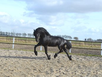 Ulbe - Maurits 437 Sport x Lammert 260 Sport - Handsome Ster stallion with magnificent movements!