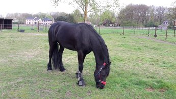 Uitblinker is sold to Martijn en Daisy in Belgium - Congratulations with this nice and pretty gelding!