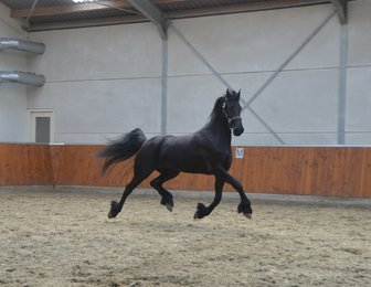 Quinty - Norbert 444 Sport x Erik 351 Sport x Naen 264 Pref - Very interesting bred 2nd pr. Ster mare in foal by CHAMPION Jurre 495 for 2018 foal!!