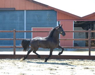 Victoria - Aan 416 x Feitse 293 Preferent - In foal by Maurits 437 Sport!