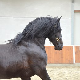 Thorsten - Jense 432 Sport x Abe 346 - Classical looking and great moving stallion!