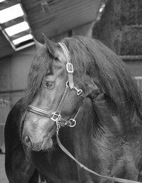 Tiemen - Thorben 466 Sport-Elite x Tsjalke 397 - Ster stallion who comes directly out of the pedigree of Anton 343 Sport+Preferent!!