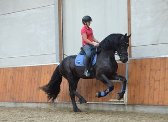 Titus - Aarnold 471 Sport x Sjaard 320 - High quality Sports stallion - 78,5 points in the ABFP test!