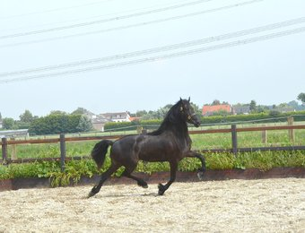 Tamar - Wylster Sport Elite x Olof 315 Sport - Full papered Stb mare, in foal by Jorn 430 Sport! Great mover!!