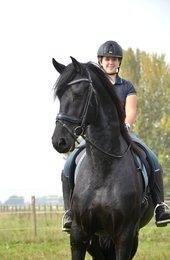 TiesBel - Thorben 466 Sport-Elite x Onne 376 Sport - Modern Ster stallion, made it into the 2nd round stallion inspection