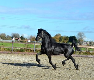Siri - Tsjalke 397 x Beart 411 Sport+Pref - Tall and elegant mare out of a proven motherline!