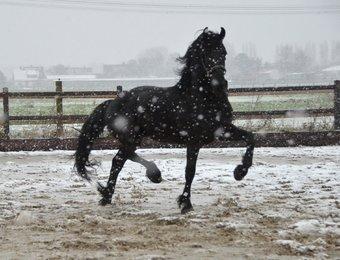 Xafier - Hessel 480 Sport x Haitse 425 Sport-Elite - Fantastic moving and great developed stallion!