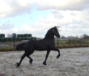 Ysbran - Thorben 466 Sport-Elite x Time 398 - Great uphill moving stallion!