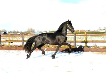 Ynze - Hessel 480 Sport x Wicher 334 - He has the X-Factor - Great mover and great developed!