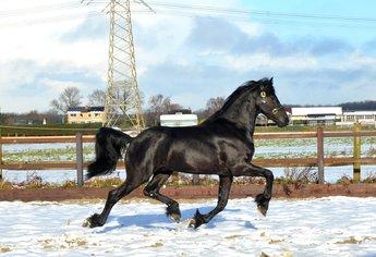 Wolter - Tsjalle 454 Sport x Hinne 427 Sport x Onne 376 Sport - Talented future sports horse!