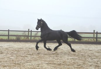 Wander - Tsjalle 454 Sport x Lolke 371 Sport - Very nice future sports stallion!