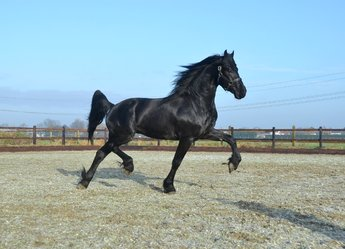 Wester - Hessel 480 Sport x Sjaard 320 - Brother of Liza v/d Meikade - Great mover and a very tall stallion!