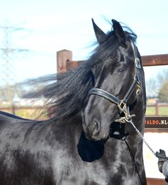 Nadia is sold to Annika in Sweden - Congratulations with this beautiful, pregnant mare!!