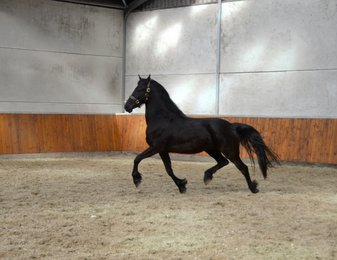 Wiannah - Tsjalle 454 Sport x Marten 377 Sport - Youthful, great moving mare out of a Crown+Sport mare!