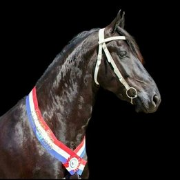 Glamour - Beart 411 Sport+Pref x Sjaard 320 - Ster+Sport gelding with lots of expression and talent!