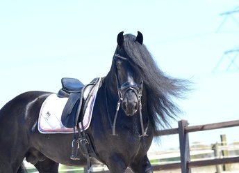 FHS Royal Rik - Wylster 463 Sport Elite x Time 398 - 5 year old Impressive Ster stallion - M1 level dressage!