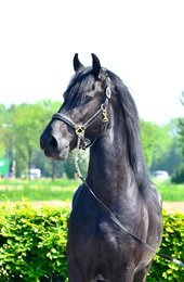 Xafier - Hessel 480 Sport x Haitse 425 Sport-Elite - Fantastic moving and great developed stallion!