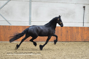 Talitha - Thorben 466 Sport-Elite x Harmen 424 Sport - In foal by Ulbran 502 for 2019!
