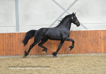 Wobbe - Alwin 469 x Folkert 353 Sport+Pref - Great mover with much expression!
