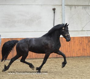 Yenthe is sold to Klaas and Nicolette in Holland - Congratulations with this high quality, pregnant Ster mare!