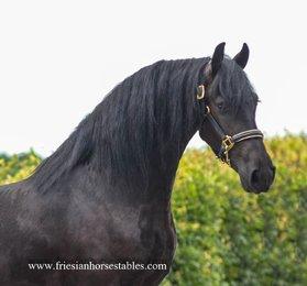 Waeltsje - Wimer 461 Sport x Tetse 394 Sport x Jochem 259 Sport+Pref - Great horse for pleasure / sport / breeding! Full papered Studbook mare!