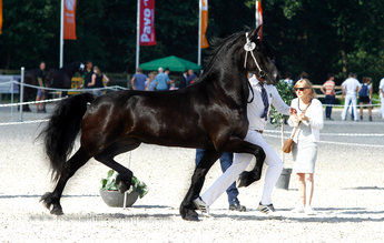 Yaniek - Beart 411 Sport+Pref x Nanno 372 - Full papered Ster mare -Comes out of the best mother line of the whole KFPS Studbook - Bred by Tsjalle 454 Sport!