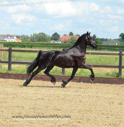 Zyra - Thorben 466 Sport-Elite x Jisse 433 Sport - 3rd Premium full papered mare!