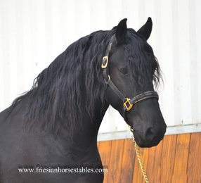 Warner - Fabe 348 Sport+Pref x Heinse 354 Sport+Pref - Baroque gelding with smooth movements!