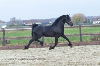 Bindert - Hessel 480 Sport x Lutger 436 Sport - First Premium as a foal - Future sports horse!