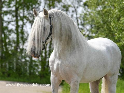PRE Stallions/Wallachen/Stuten for sale