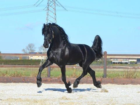 Friesian Stallions/Geldings